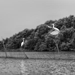 Horizontal Vivid Black and White Stork Couple Love Games on River Background Backdrop by spacedrone808