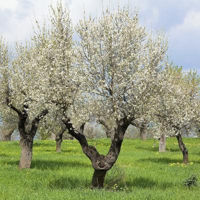 Spain, Balearic Islands, Island Majorca, Almond-Trees, Blooming-Steffen Beuthan-Photographic Print