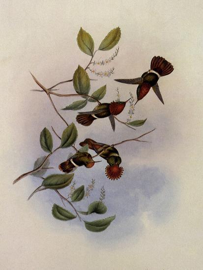 Spangled Coquette, Lophornis Regin�-John Gould-Giclee Print
