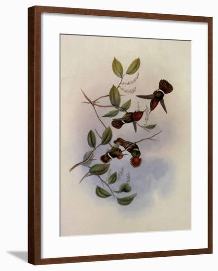Spangled Coquette, Lophornis Regin�-John Gould-Framed Giclee Print