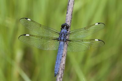 Spangled Skimmer Dragonfly Male, Marion County, Illinois-Richard and Susan Day-Photographic Print