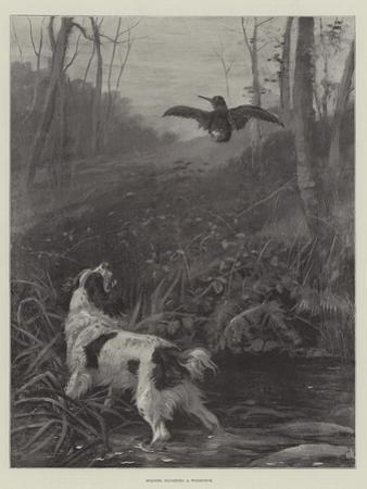 Spaniel Flushing a Woodcock