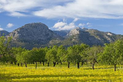 Spanish Balearic Islands, Island Majorca, Olive Grove Infront of the Mountains of the Tramuntana-Chris Seba-Photographic Print