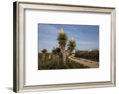 Spanish dagger (Yucca treculeana) in bloom.-Larry Ditto-Framed Photographic Print