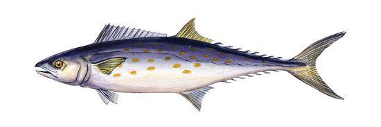 Spanish Mackerel (Scomberomorus Maculatus), Fishes-Encyclopaedia Britannica-Art Print