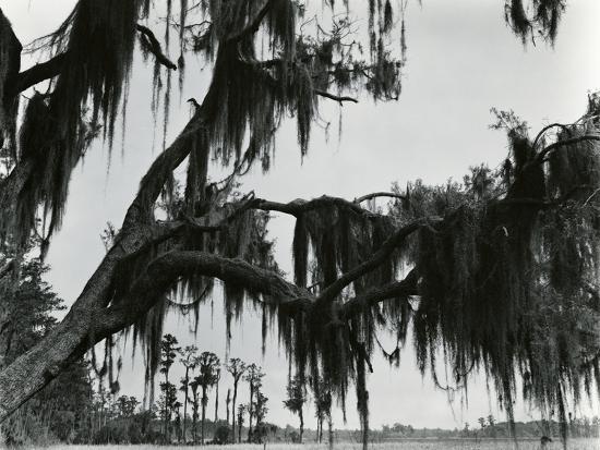 Spanish Moss, Louisiana, 197-Brett Weston-Photographic Print