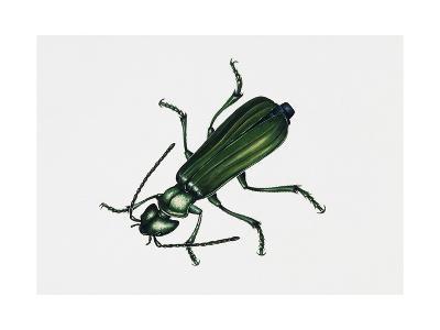 Spanishfly (Lytta Vesicatoria), Meloidae, Artwork by Rebecca Hardy--Giclee Print