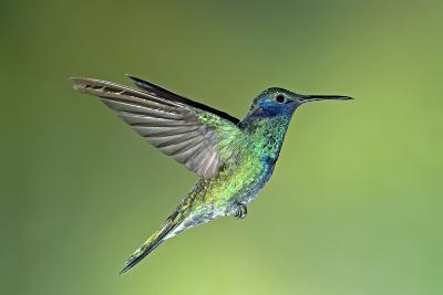 Sparkling Violetear Hummingbird-Tony Camacho-Photographic Print