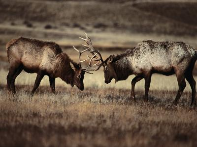 Sparring Bull Elk (Cervus Elaphus), Yellowstone National Park, Wyoming, USA-Carol Polich-Photographic Print
