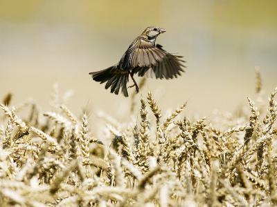 Sparrow, Flying Over Wheat Field, Switzerland-David Courtenay-Photographic Print