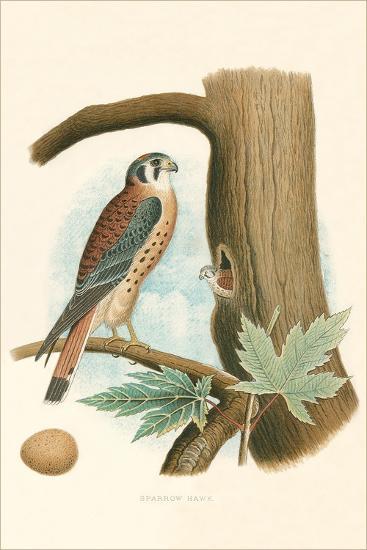 Sparrow Hawk and Egg--Art Print