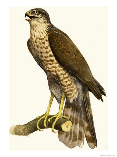 Sparrow Hawk--Giclee Print