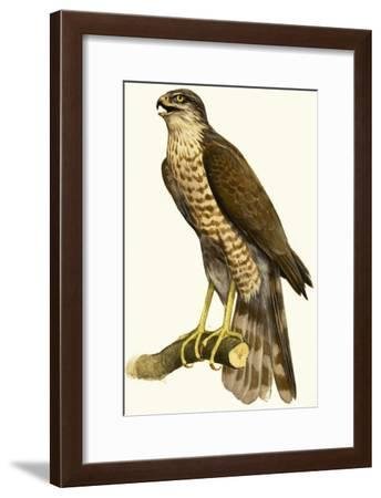Sparrow Hawk--Framed Giclee Print