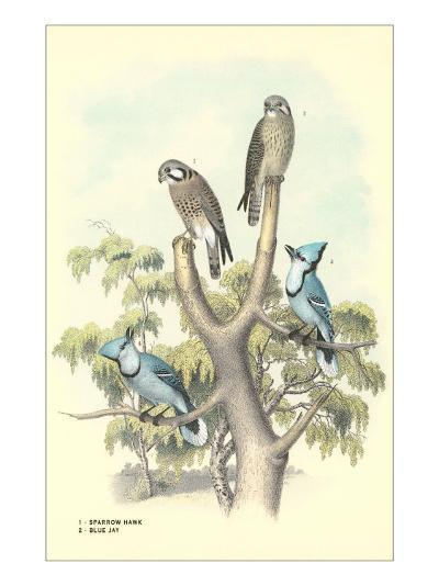 Sparrow Hawks, Blue Jays--Art Print