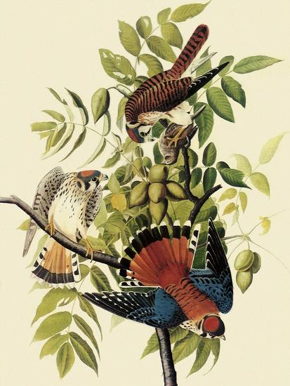 Sparrow Hawks-John James Audubon-Giclee Print
