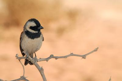 Sparrow in Area of Sossusvlei Dunes, Namibia-Anne Keiser-Photographic Print