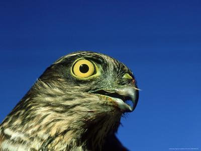 Sparrowhawk, England, UK-Les Stocker-Photographic Print