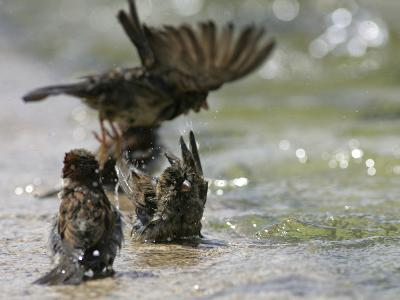 Sparrows Bathe in Puddles at the Moscow Red Square--Photographic Print
