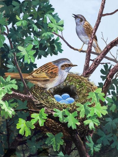 Sparrows Nest--Giclee Print