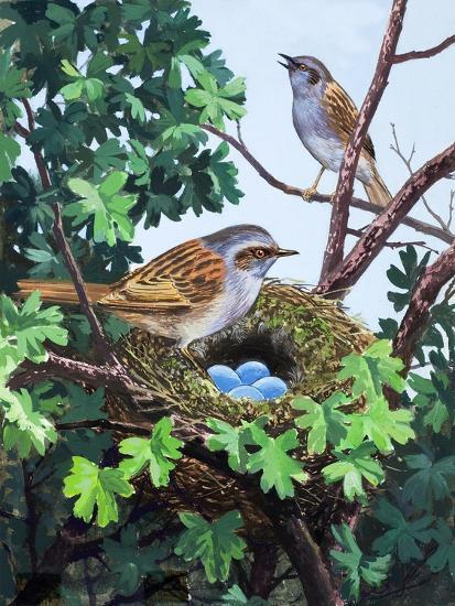 Sparrows Nest--Giclee Print