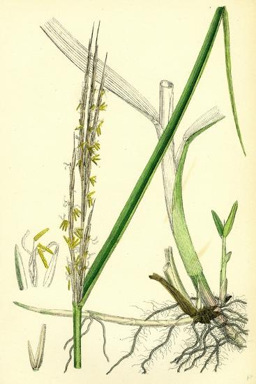Spartina Alterniflora Many-Spiked Cord-Grass--Giclee Print