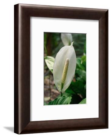 Spathiphyllum floribundum (Peace lily)-Angela Marsh-Framed Photographic Print