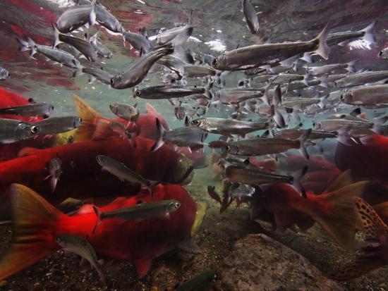 Spawning Salmon Dominate Traffic in the Ozernaya River-Randy Olson-Photographic Print