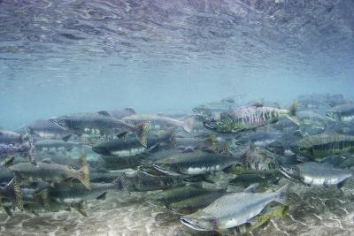 Spawning Salmon in Kinak Bay in Katmai National Park-Paul Souders-Photographic Print