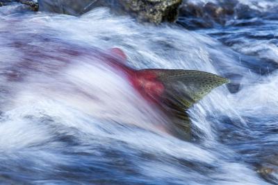 Spawning Salmon, Katmai National Park, Alaska--Photographic Print