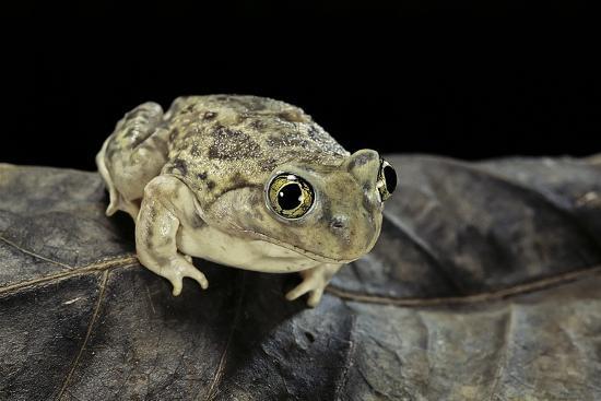 Spea Bombifrons (Plains Spadefoot Toad)-Paul Starosta-Photographic Print