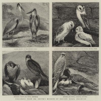 Specimens from Mr Booth's Museum of British Birds, Brighton-Alfred Chantrey Corbould-Giclee Print