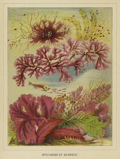 Specimens of Seaweed--Giclee Print