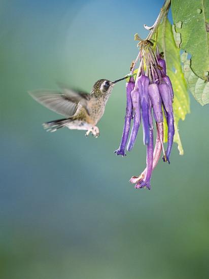 Speckled Hummingbird, West Slope Cloud Forest, Ecuador-Mark Jones-Photographic Print