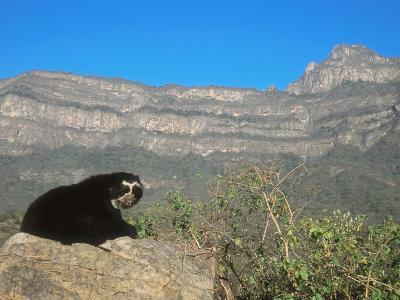 Spectacled Bear Male in Dry Forest Habitat, Peru-Mark Jones-Photographic Print