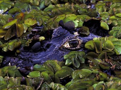Spectacled Caiman, Amazon Rainforest, Pantanal, Brazil-Gavriel Jecan-Photographic Print