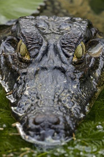 Spectacled Caiman--Photographic Print