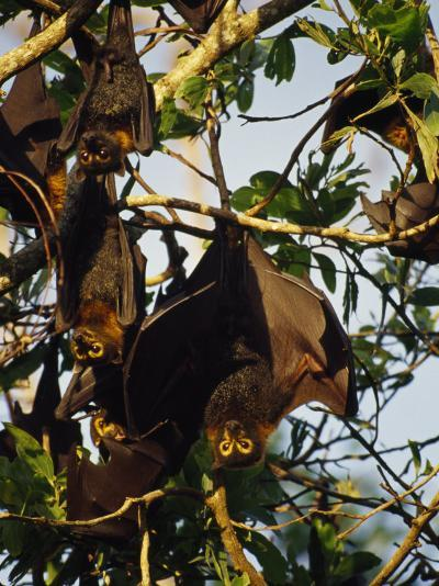 Spectacled Flying Fox Bats Roost in a Rainforest Smashed by a Cyclone-Jason Edwards-Photographic Print