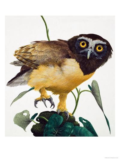 Spectacled Owl-Kenneth Lilly-Giclee Print