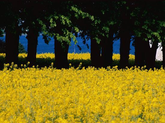 Spectacular Fields of Yellow Wildflowers-Sisse Brimberg-Photographic Print