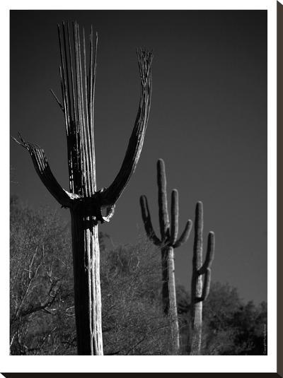 Spent Saguaro #11-Murray Bolesta-Stretched Canvas Print