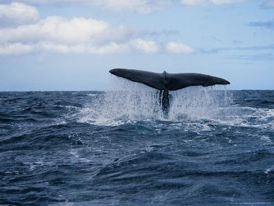 Sperm Whale, About to Dive, Portugal-Gerard Soury-Photographic Print