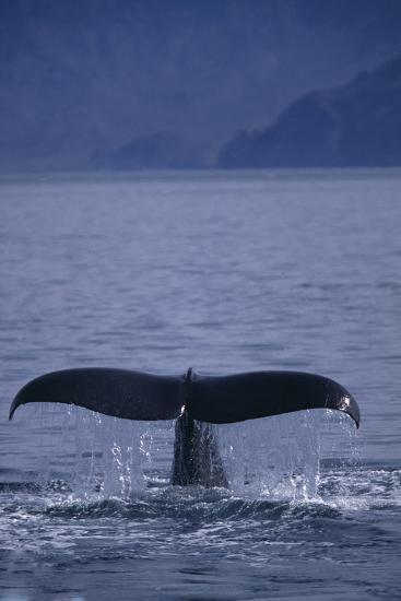 Sperm Whale Fluke-DLILLC-Photographic Print