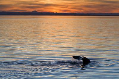 Sperm Whale (Physeter Macrocephalus) at Sunset, Isla San Pedro Martir, Gulf of California, Mexico-Michael Nolan-Photographic Print