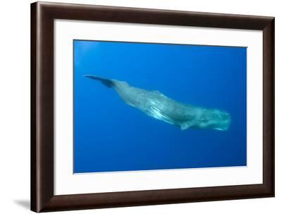 Sperm Whale (Physeter Macrocephalus) Pico, Azores, Portugal, June 2009-Lundgren-Framed Photographic Print