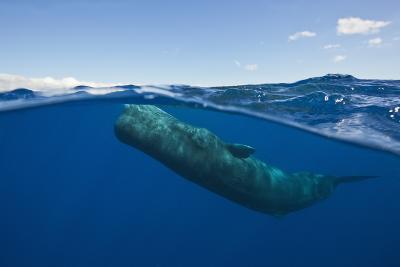 Sperm Whale (Physeter Macrocephalus)-Reinhard Dirscherl-Photographic Print