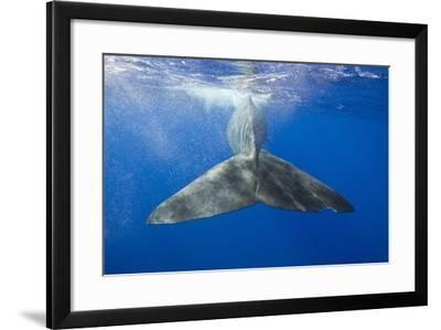 Sperm Whale Tail-Reinhard Dirscherl-Framed Photographic Print