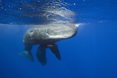 Sperm Whales (Physeter Macrocephalus)-Reinhard Dirscherl-Photographic Print