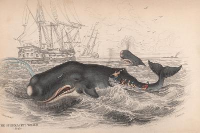 Spermaceti Whale-Robert Hamilton-Giclee Print