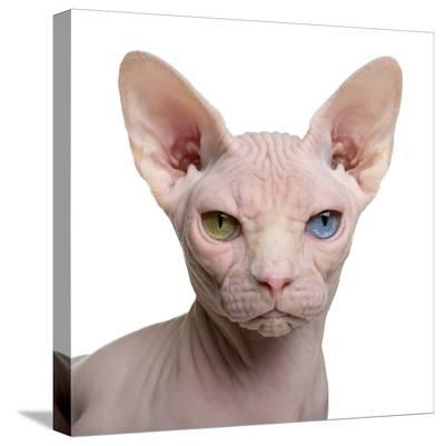 Sphynx Cat, 1 Year Old, in Front of White Background-Eric Isselee-Stretched Canvas Print