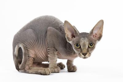Sphynx Kitten 4 Months Old--Photographic Print